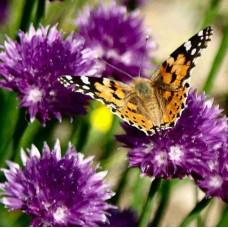 Organic Butterfly Mix