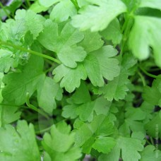 Organic Parsley Plain (French)