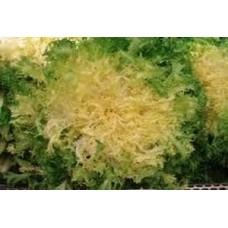 Organic Endive Pancalieri