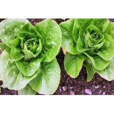 Organic Lettuce Little Gem