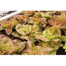 Organic Lettuce Marvel of Four Seasons