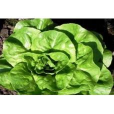 Organic Lettuce Matilda