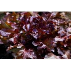 Organic Lettuce Red Salad Bowl