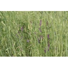 Organic Rye/Winter Vetch