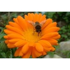 Organic Marigold, Pot