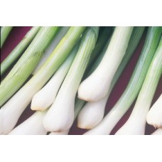Organic Onion Scallion White Lisbon