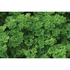 Organic Parsley Green Perle