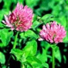 Organic Red Clover diploid