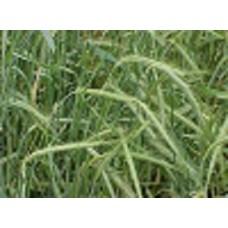 Organic Rye Seed