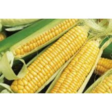 Organic Sweetcorn Golden Bantam