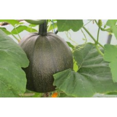 Organic Squash Green Hokkaido
