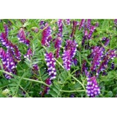 Organic Vetch, Winter