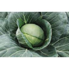 Cabbage - 'Farao F1'