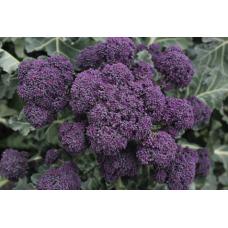 Broccoli Purple Sprouting - 'Rioja F1'