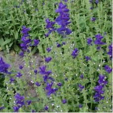 Annual Clary Sage, purple