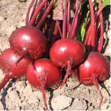 Beetroot - 'Egyptian Flatround'