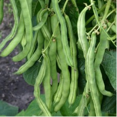 Organic Beans Climbing French - 'Neckarkönigin'