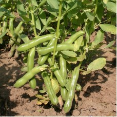 Organic Broad Beans - 'Ratio'
