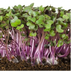 SPROUTING RED CABBAGE