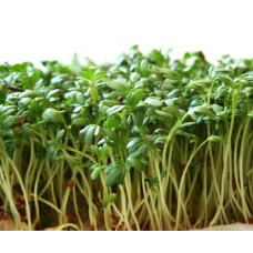 Organic Cress Sprouting