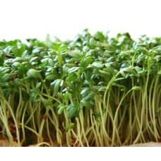 Organic Cress Sprouting
