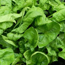 Organic Spinach Annual Giant Winter