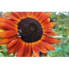 Organic Sunflower Velvet Queen